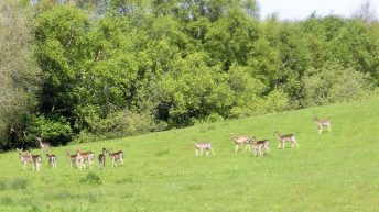 Wild deer: 'They have me destroyed; they eat all the grass and wreck all my fences'