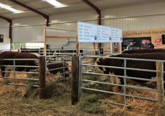 Cattle exhibitors brave it out for Friday's 'Ploughing 2018'