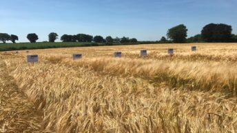 Six-row hybrid varieties start to knock on the quality door