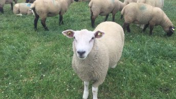 Spring lamb market remains relatively stable