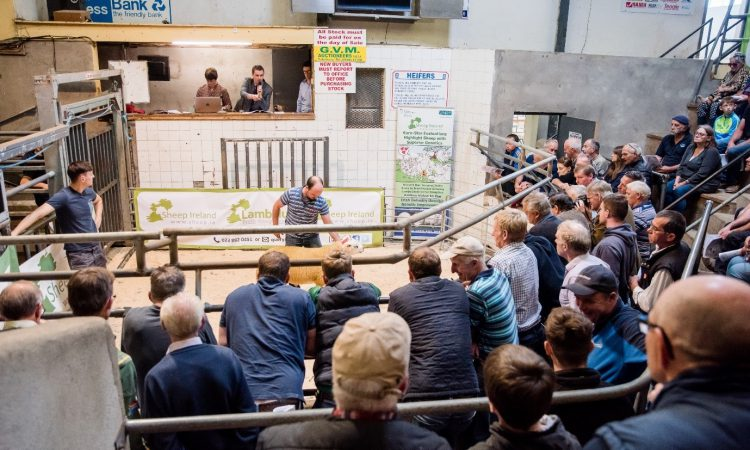 Rams hit €1,220 at Sheep Ireland €uroStar Multi-Breed Ram Sale