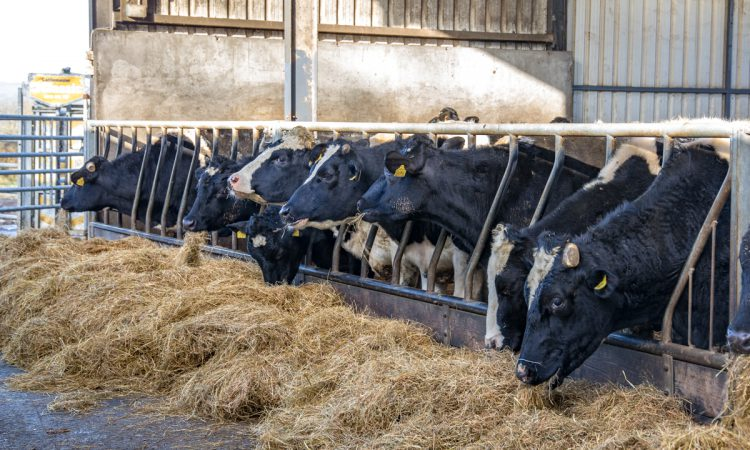 Carcass weight and conformation need to be improved in dairy-beef calves