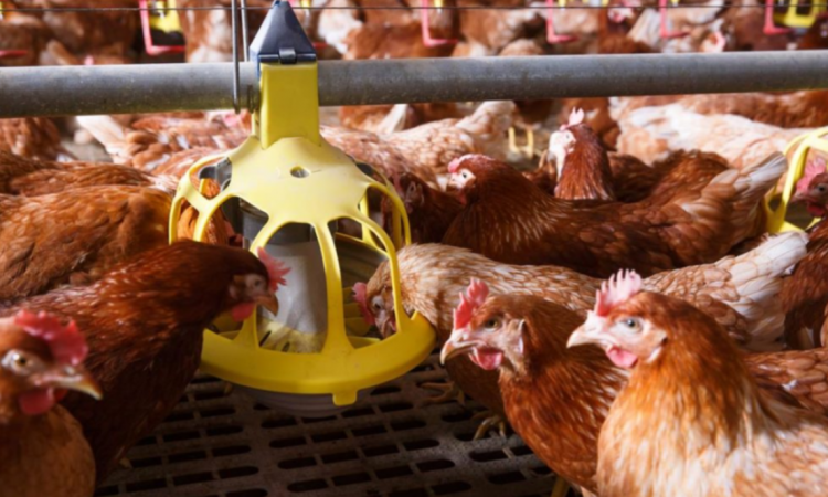 Time to move in and tackle poultry red mite on farm in Northern Ireland