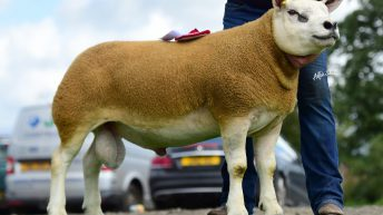 Northern Irish Texel National Sale peaks at 4,300gns