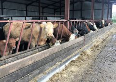 Nutrition and body condition critical for getting autumn-calving cows back in calf