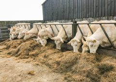 What should I feed my spring-calving cows and heifers this winter?