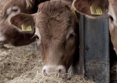 What's Kepak feeding cattle to produce Omega 3 enriched beef?