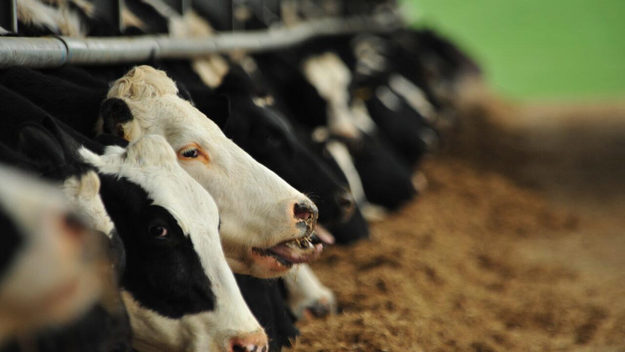 Huge scope to improve the longevity of the national dairy herd