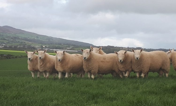 Donegal breeders gearing up for Wicklow Cheviot show and sale