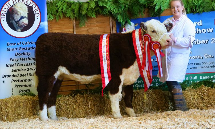 Hereford calf show comes to Tullamore this Sunday