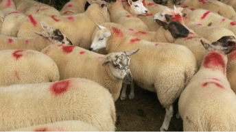 Finishing lambs on your farm? Here are some options