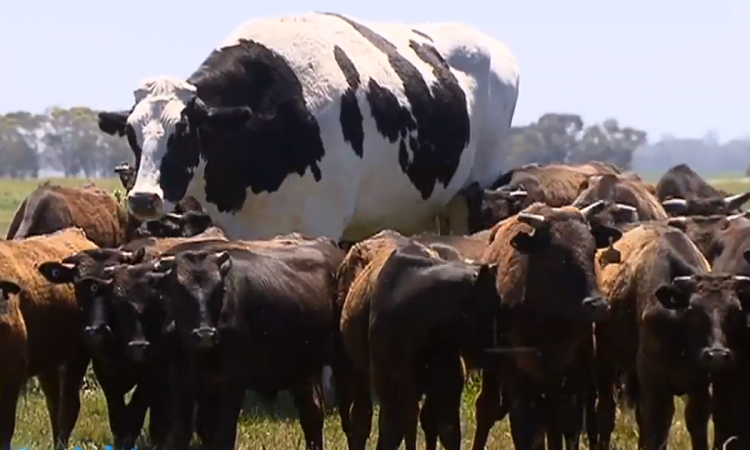 Farmer claims ownership of 'the biggest bullock on earth'