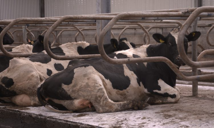 Preventing mastitis in first-time calvers