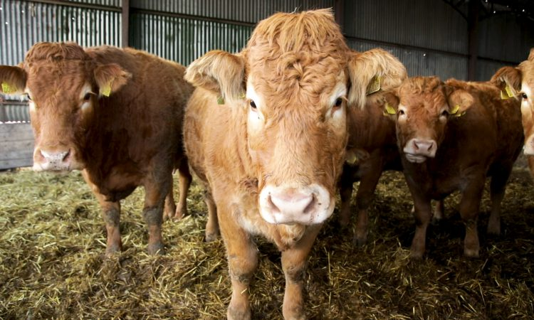 FARM SMART: Juggling a full-time job and a purebred Limousin herd in Co. Laois
