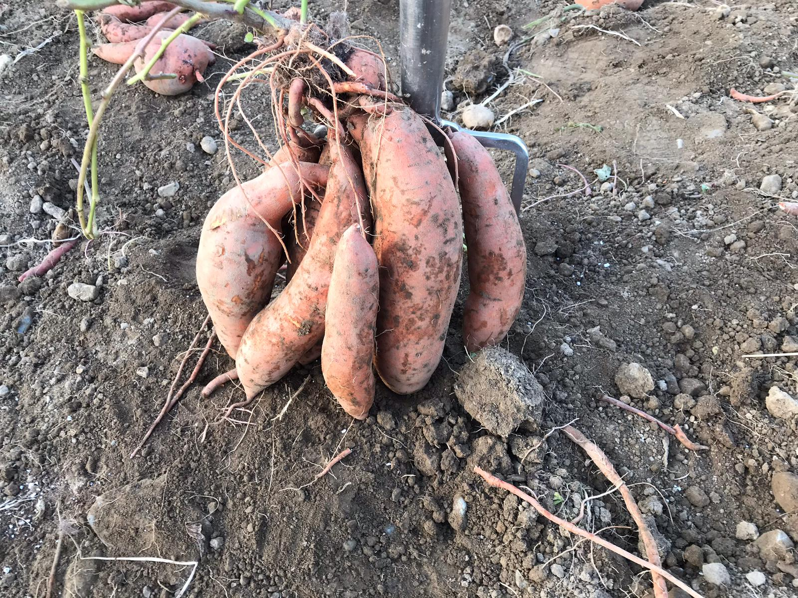 Tillage focus: Potato business gets 'sweet' in order to meet demand