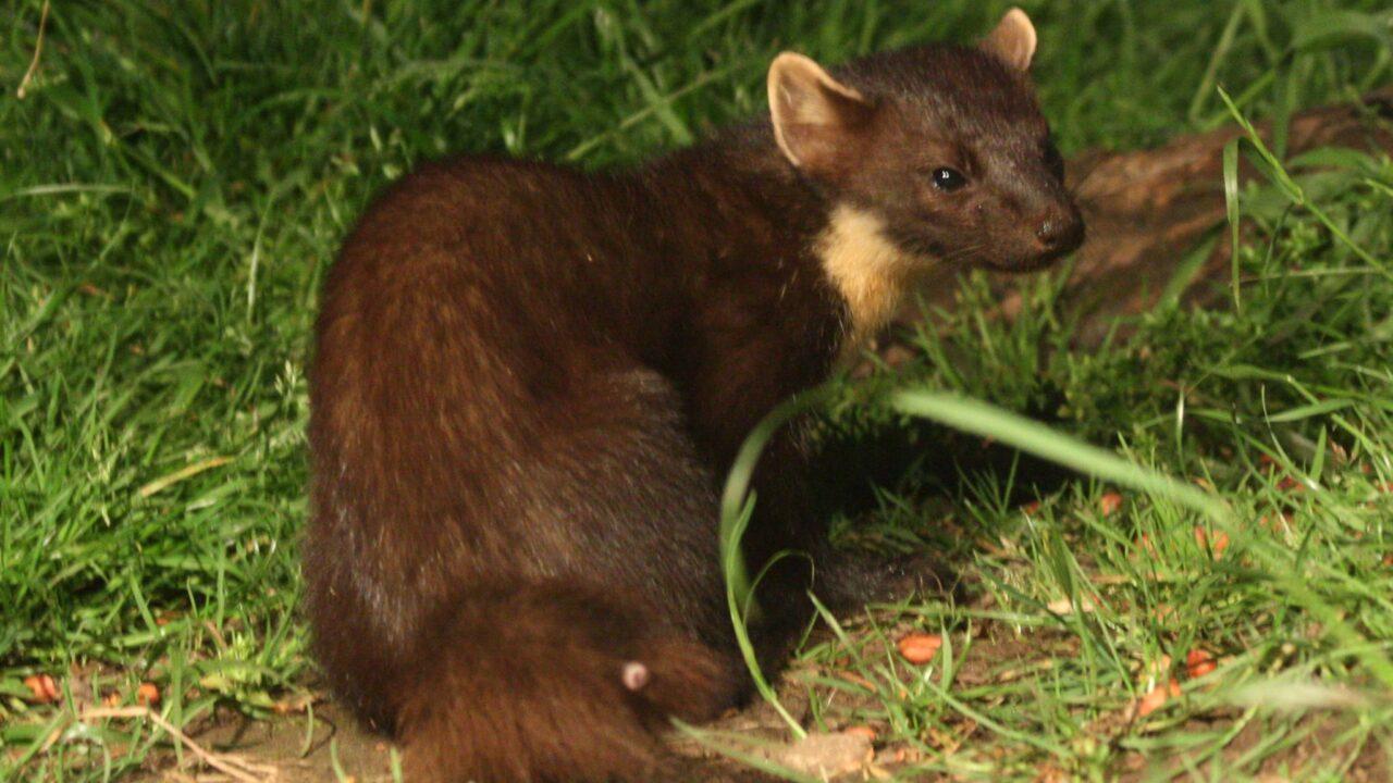 'Ireland's rarest mammal' enters the digital age
