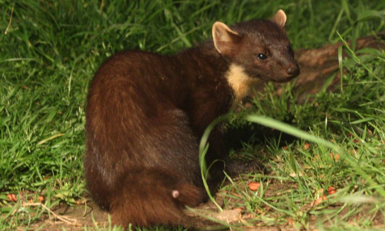 Research shows pine martens help conserve red squirrels