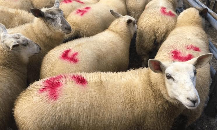 Sheep trade: Tighter supplies see lamb prices pressing €5/kg