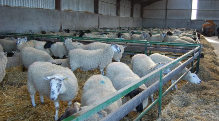 Late-pregnancy nutrition: Check your protein levels when supplementing ewes