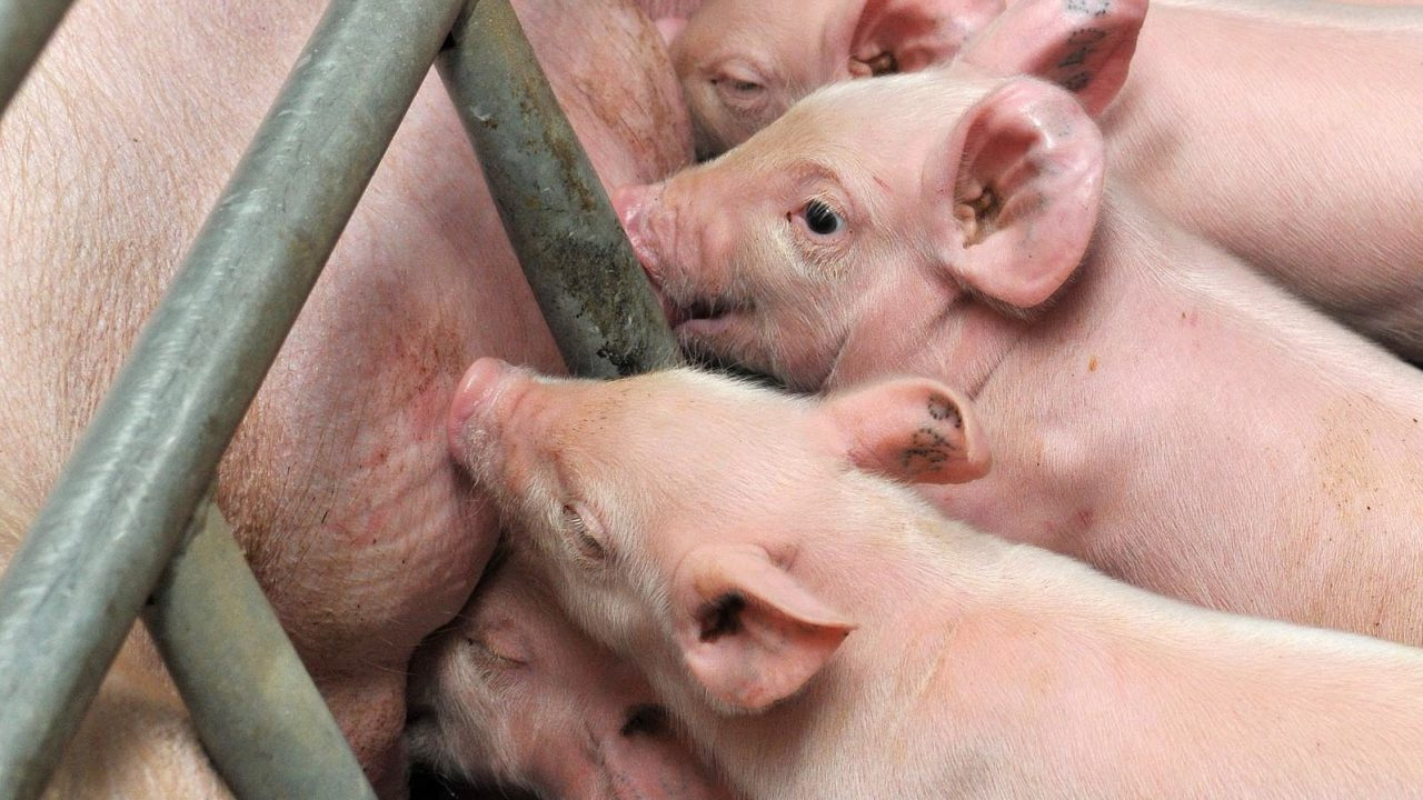 New sow product 'maximises' colostrum impact for piglets
