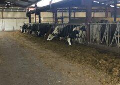 金宝搏娱乐城乳制品专注:常年生产牛奶的纯种荷斯坦牛有限公司高威