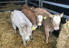 我应该什么时候给奶牛接种疫苗,以防止小牛被冲刷??