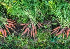 188betapp耕作重点:有机蔬菜从农场大门到圣诞晚餐盘