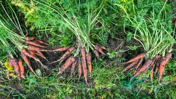 Tillage focus: Organic vegetables from the farm gate to your Christmas dinner plate