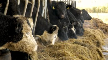 What 10 key areas are vital for a successful dairy calf-to-beef operation?