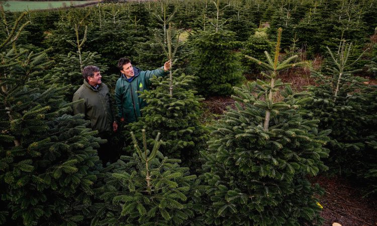Real Irish Christmas trees: 'It wouldn't be the same without one'