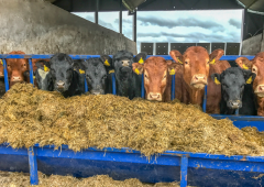 ICSA: New state aid limit will not cover beef losses