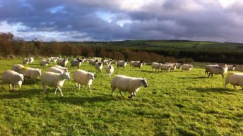 Gross margins on sheep farms predicted to increase in 2019