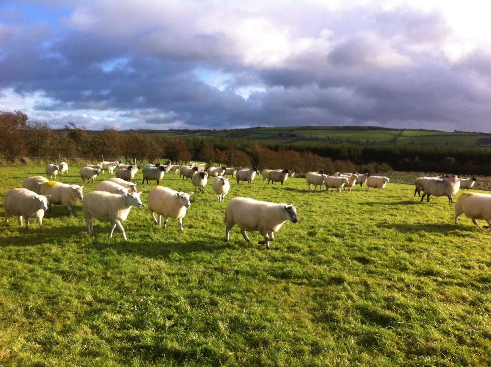 Thinking of winter shearing your ewe flock? Here are some points to note