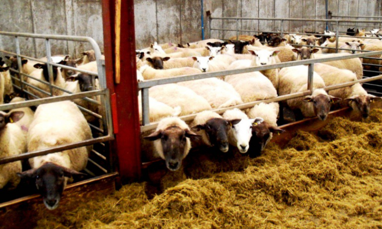 Housed your flock yet? Here are some points to consider for the lambing shed