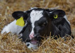 Why colostrum is the most important feed a calf will get in its entire lifetime