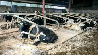 Why is it important to give cows an adequate dry period?