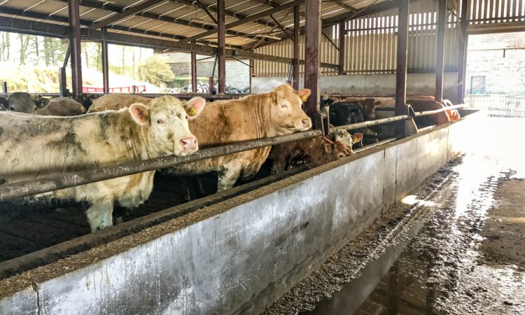 Beef trade: Cattle quotes still 'stuck in the mud'