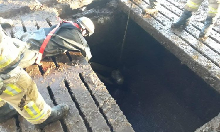 Firefighters spring stricken cattle from slurry tank
