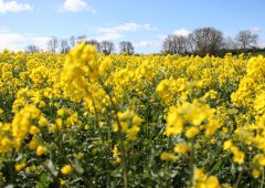 Seed oilseed rape contracts could add to your rotation