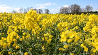 Are you thinking of planting oilseed rape?