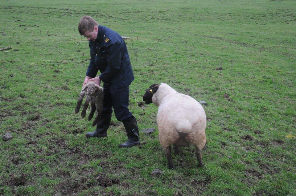 garda sheep rescue