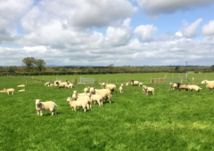 Over 20 lambs killed in Sligo dog attack