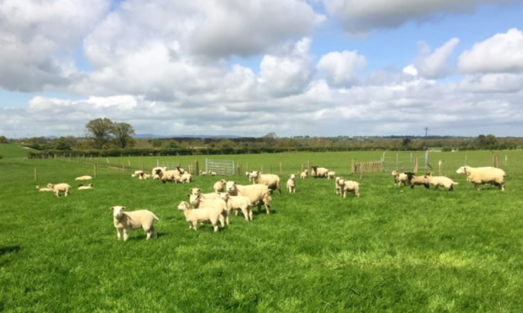 Higher lamb growth rate and less worms when grazing multi-species swards