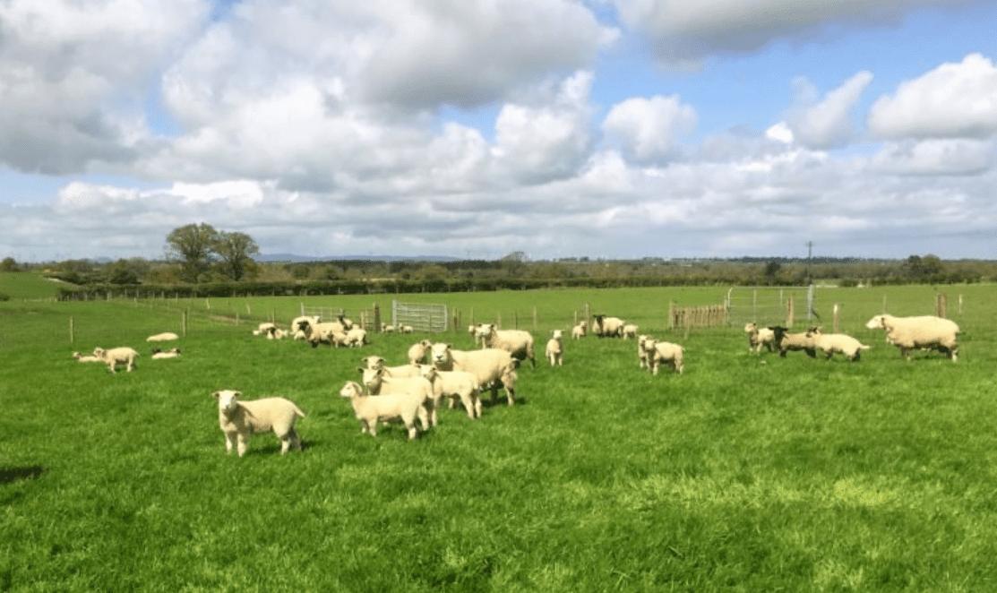 ICSA 'demands' Cowen explain lamb imports