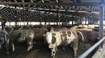 'Feedlot operations undermine Origin Green' – Beef Plan Movement