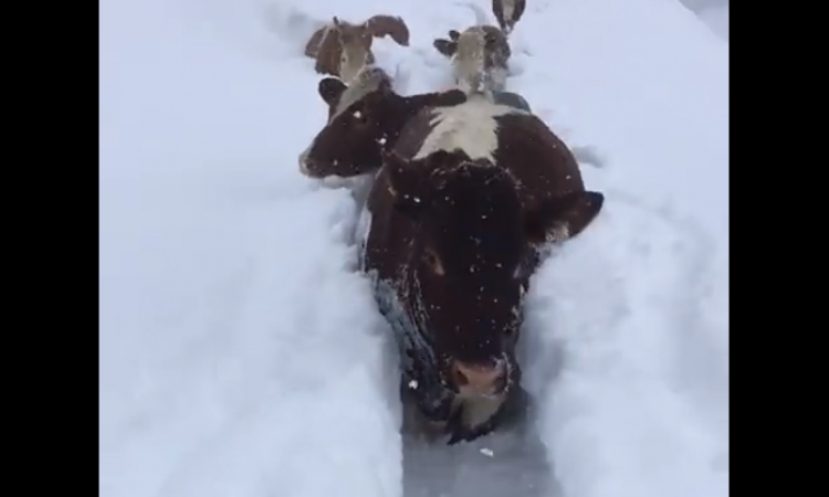 Video: Cows trek through trenches of snow for milking
