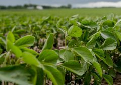 Soybean production could soon be 'the norm' in Ireland