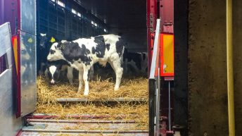 Dairy calf exports: 'Some disruption expected in early 2019'