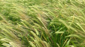 Turbulent times: Will the malting industry go the way of Irish-produced sugar?