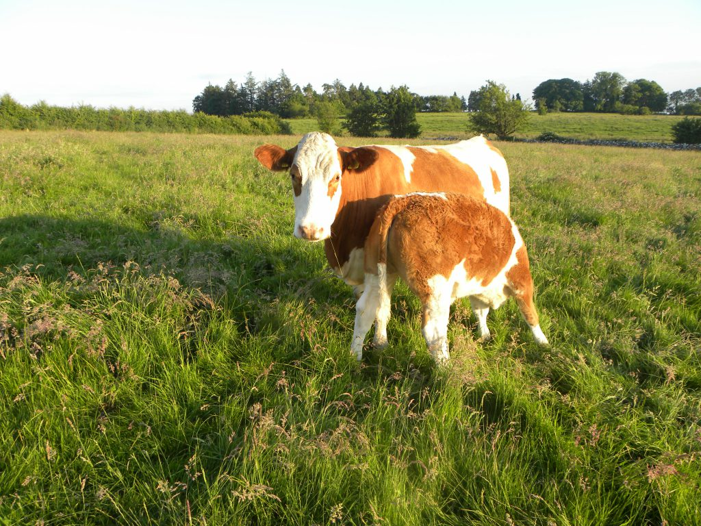 suckler cows